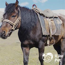 Монгольская порода лошади: фото и видео, характеристики и описание, история