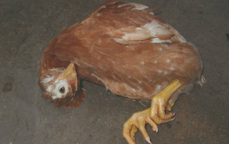Яйца без скорлупы несет курица молодка почему