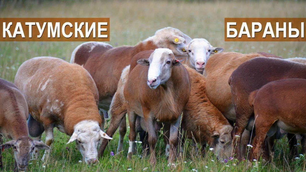 Катумские овцы-бройлеры