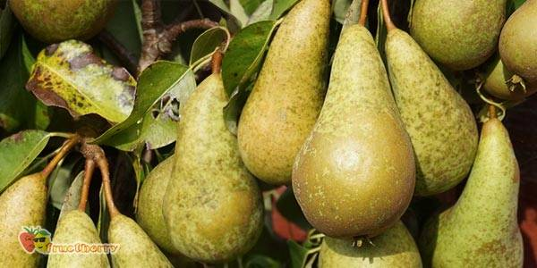 Как выращивать грушу сорта конференция