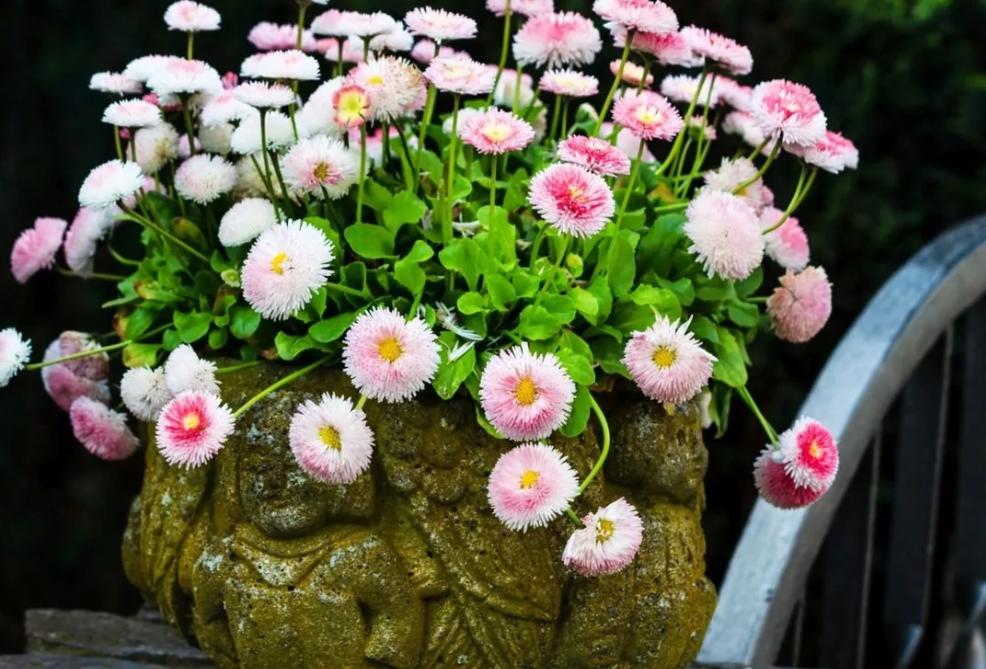 Садовые многолетние маргаритки: посадка и уход за цветами с ярким внешним видом, использование культуры для обустройства цветников и клумб