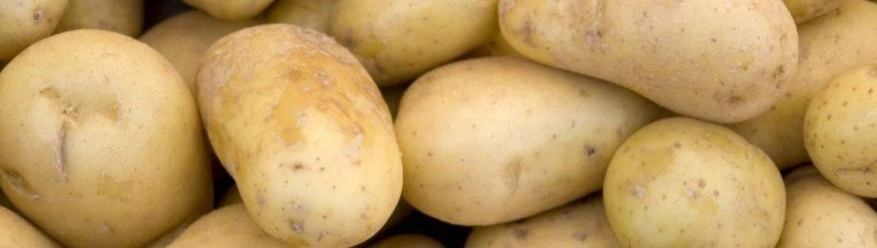 Сорт картофеля агата: описание, характеристика и фото, история селекционирования, правила выращивания и ухода