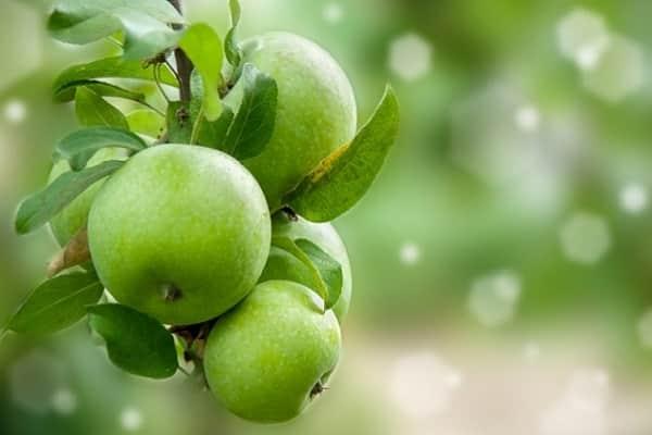 Семеренко яблоки описание сорта фото отзывы