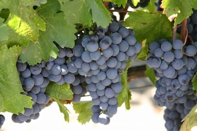 Виноград изабелла – описание сорта, посадка и уход, формирование куста + фото