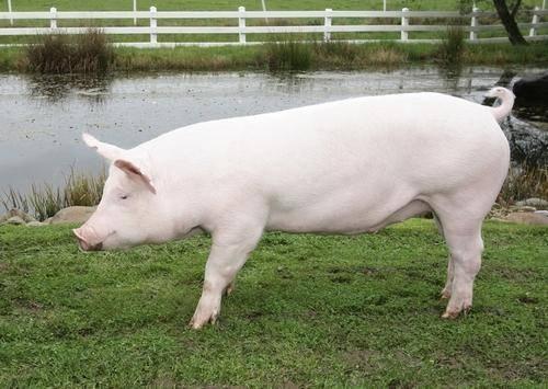 Крупная белая порода свиней: характеристики, продуктивность и уход