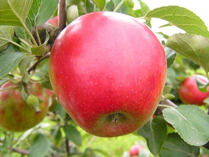 Яблоня коваленковское: описание сорта, фото, отзывы, польза