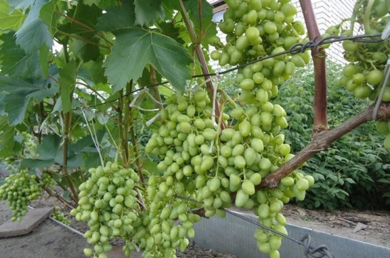 Как посадить и ухаживать за виноградом в сибири