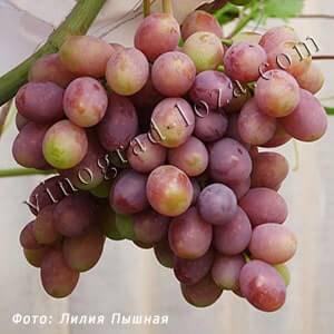 Виноград каталония: фото, отзывы и описание сорта