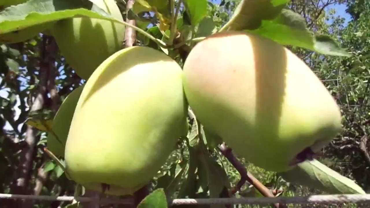 Яблоня сорта кандиль орловский