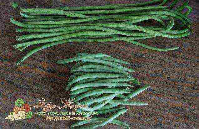 Спаржевая фасоль: посадка, выращивание и уход в открытом грунте