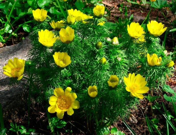 Адонис (горицвет) посадка и уход размножение лечебные свойства