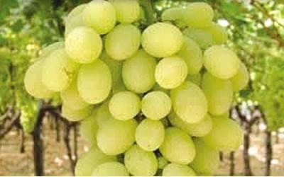 Виноград лора: как вырастить на дачном участке