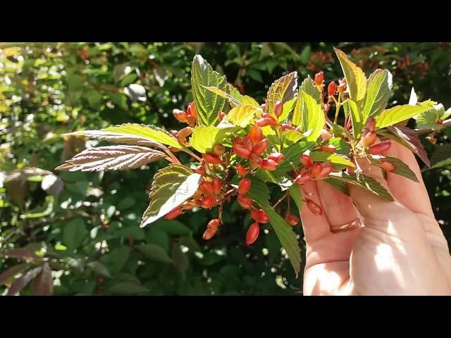 Калина (60 фото): описание декоративного куста. как выглядит цветущая калина и ее листья? черная и белая, дикая и садовая, калина в ландшафтном дизайне