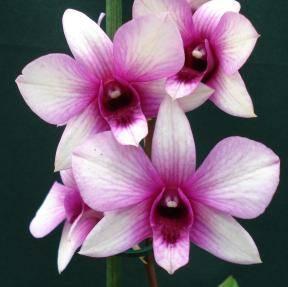 Качественный уход за орхидеей дендробиум после цветения в домашних условиях