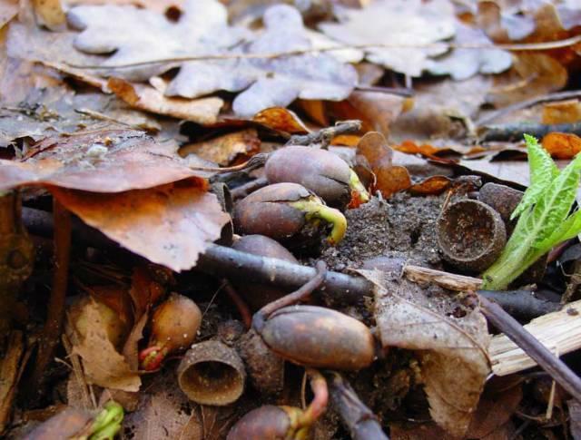 Как вырастить дуб из желудя в домашних условиях – всё об орехах