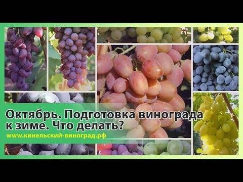 Кинельский виноград