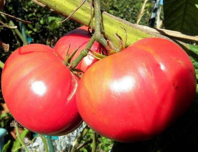 Сорт томат «уральский гигант»: описание, отзывы, фото, урожайность