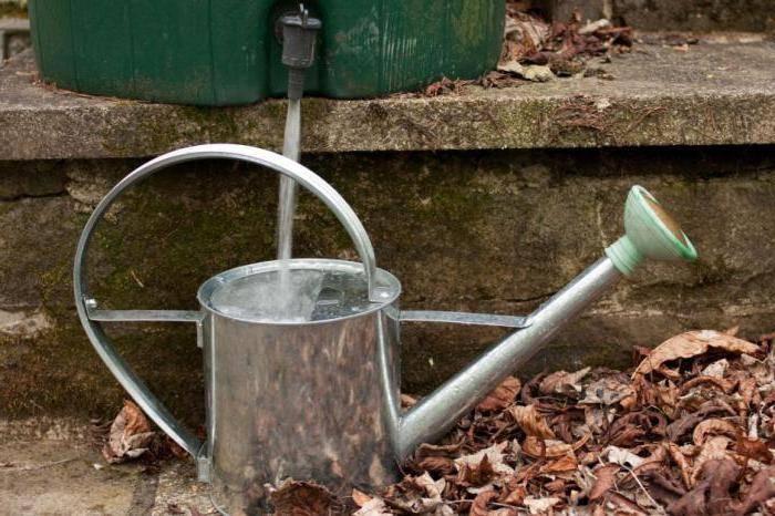 Когда прекращать поливать чеснок: полив - как часто и нужно ли в открытом грунте, когда прекращают лук