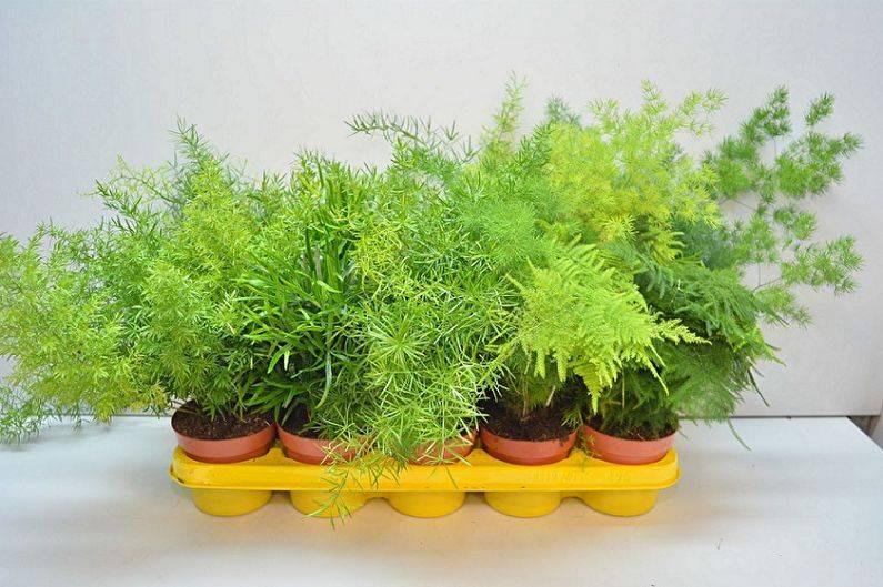 Аспарагус из семян в домашних условиях: правила посадки и ухода за сеянцами для тех, кто хочет знать как вырастить цветок с нуля