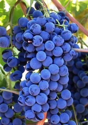 Сорта черного винограда: описание, фото, отзывы, характеристика