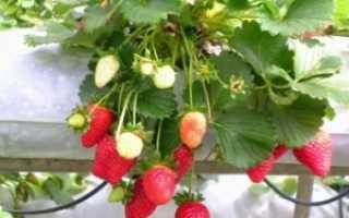Выращивание клубники дома на подоконнике круглый год пошагово с видео