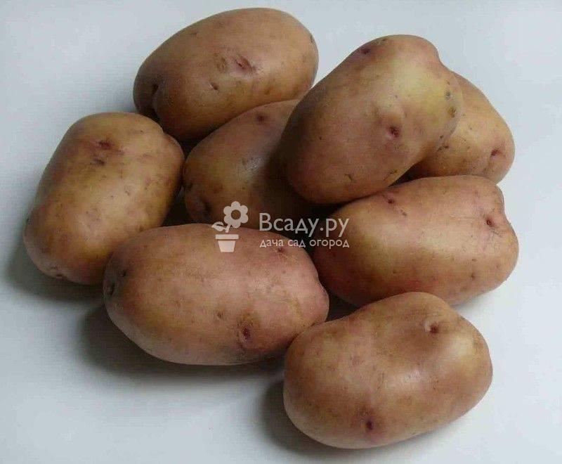 ᐉ красные сорта картофеля: названия, преимущества и недостатки - roza-zanoza.ru