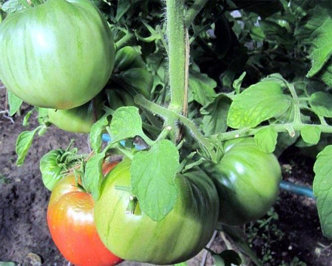 Очень вкусные томаты бабушкин секрет