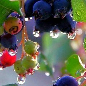 Растение ирга: выращивание и уход в открытом грунте, описание и разновидности, посадка и способы размножения