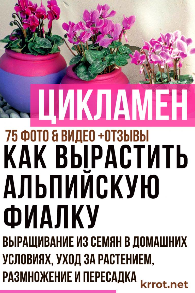 О цветах альпийских фиалках: горная фиалка, цикламен европейский, дряква