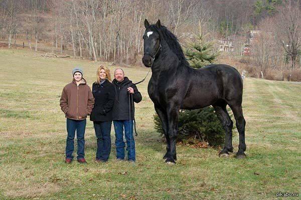 Першерон: порода лошадей