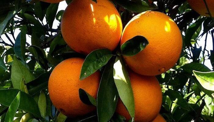 Домашний апельсин: фото сортов, названия, выращивание апельсина из косточки на подоконнике и в теплице