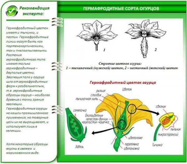 Описание цветения огурцов женского и мужского типа