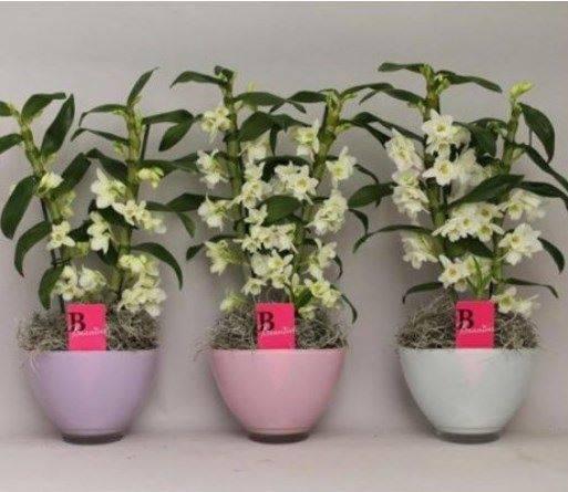 Уход за орхидеей дендробиум в домашних условиях: как поливать и ухаживать, почему желтеют листья и что делать, если растение не цветёт, фото и видео разновидности dendrobium