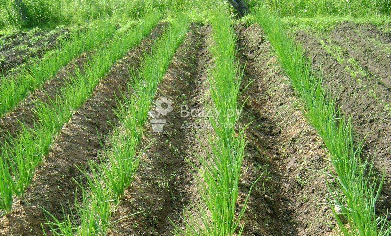 Выращивание чеснока в открытом грунте: посадка и уход за озимым чесноком, когда собирать урожай