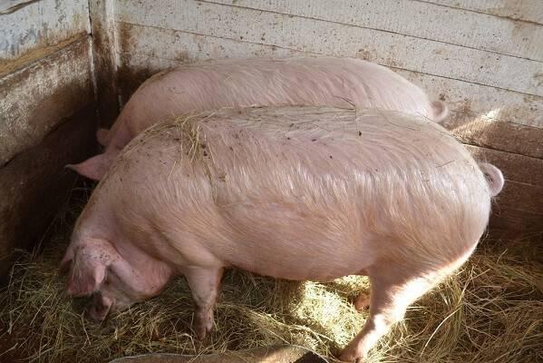 Разведение свиней в домашних условиях как бизнес: с чего начать?