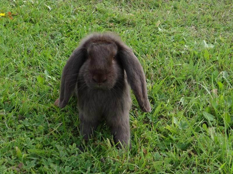 Кролик французский баран: характеристика и описание породы