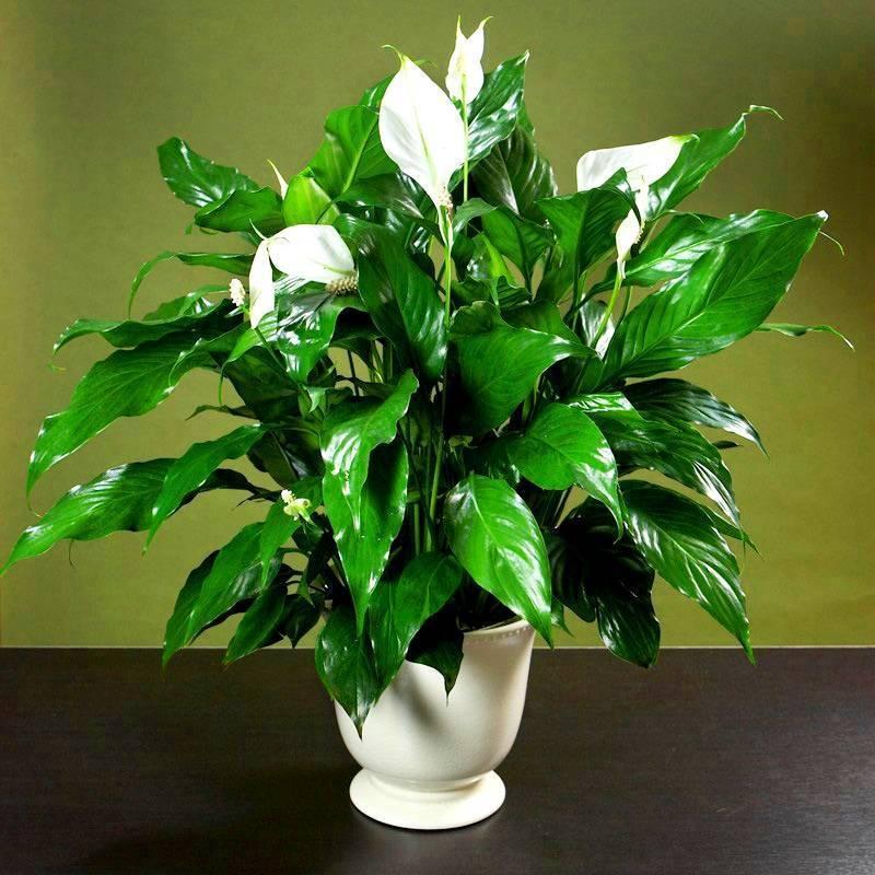 Спатифиллум — цветок женское счастье как ухаживать в домашних условиях?