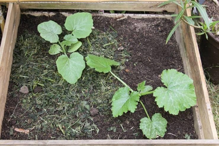 Посадка кабачков семенами в открытый грунт и на рассаду сроки и схема посадки правильный уход