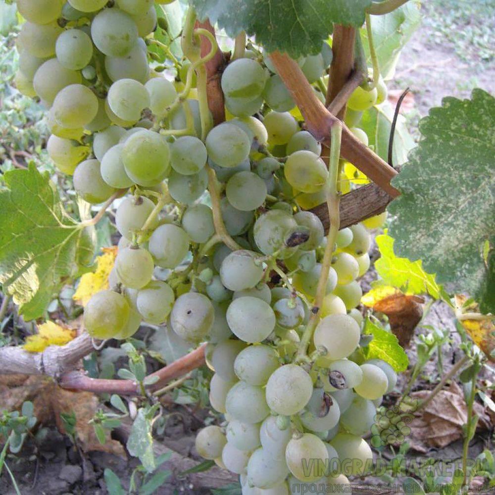 Высокоурожайный сорт винограда — «подарок магарача»