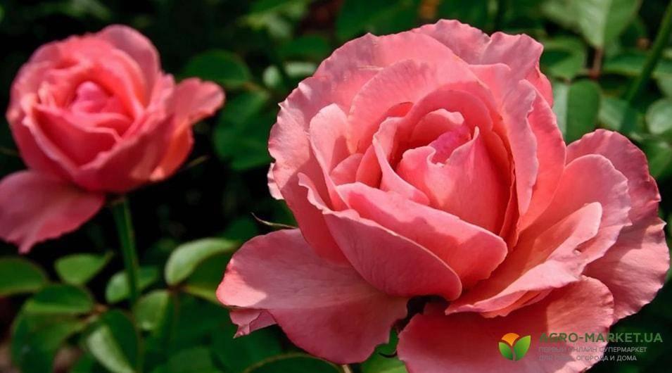 Подкормка для пышного цветения роз удобрениями весной и летом