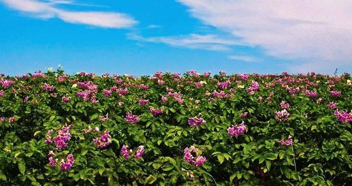 Будет ли урожай если картошка не цветет: разбираемся с причинами