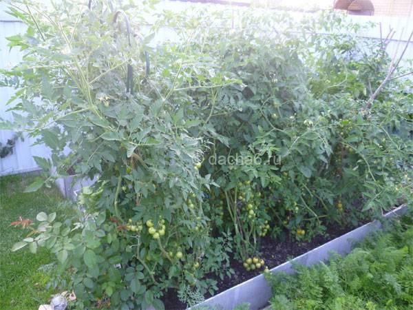 Как правильно подвязать помидоры в открытом грунте | вырасти сад!