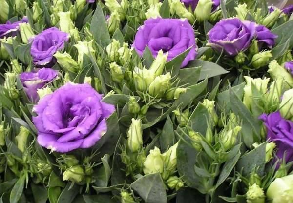 Эустома или ирландская роза – выращивание и уход