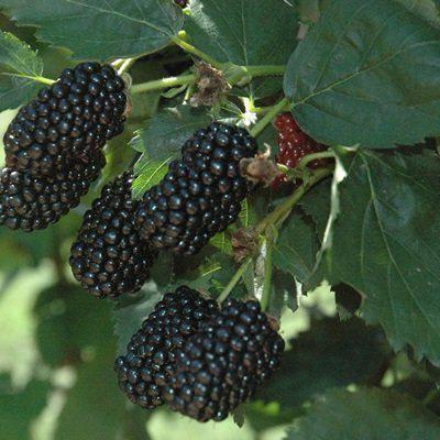Ежевика натчез: посадка и уход, описание, и отзывы садоводов