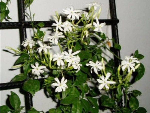 Комнатный жасмин — неземное совершенство. уход в домашних условиях. фото — ботаничка.ru