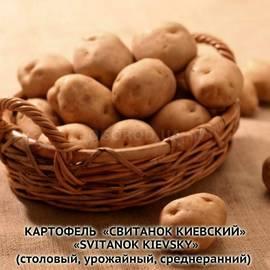 Сорт картофеля свитанок киевский: характеристика, агротехника выращивания