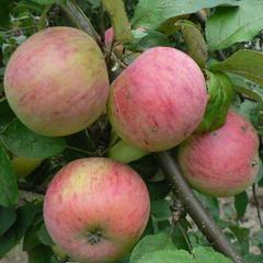Осенние сорта яблонь для подмосковья: лучшие поздние яблони