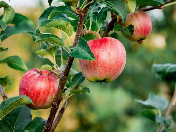 Описание сорта яблони алеся: фото яблок, важные характеристики, урожайность с дерева
