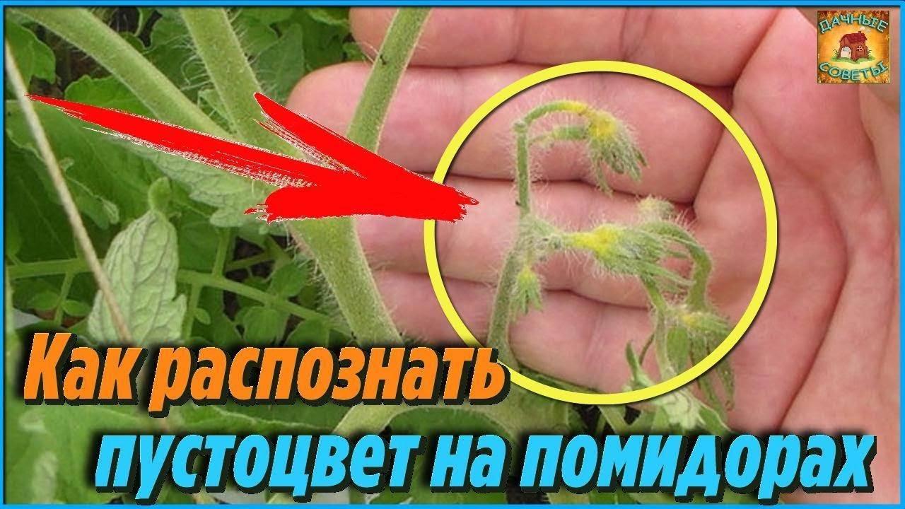 Почему не завязываются помидоры в теплице: весенние рекомендации 2019