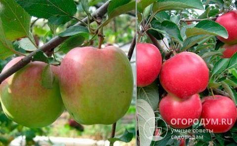 О яблоках ред делишес: описание и характеристики сорта, посадка и уход
